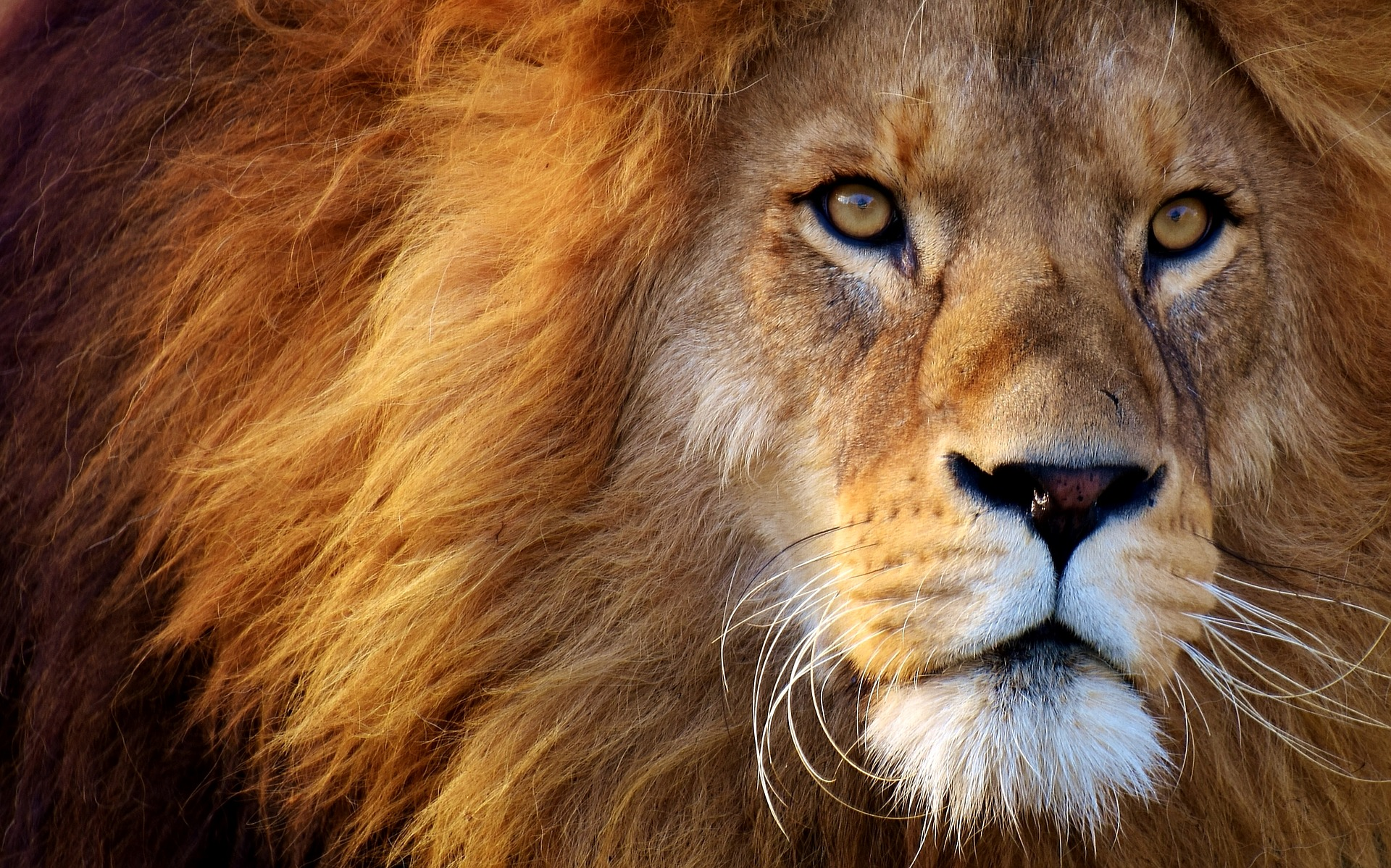 image of male lion